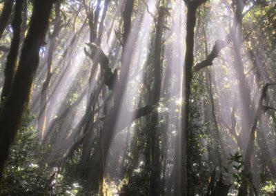 El Cedro Bäume mit Sonneneinstrahlung von oben, magisch